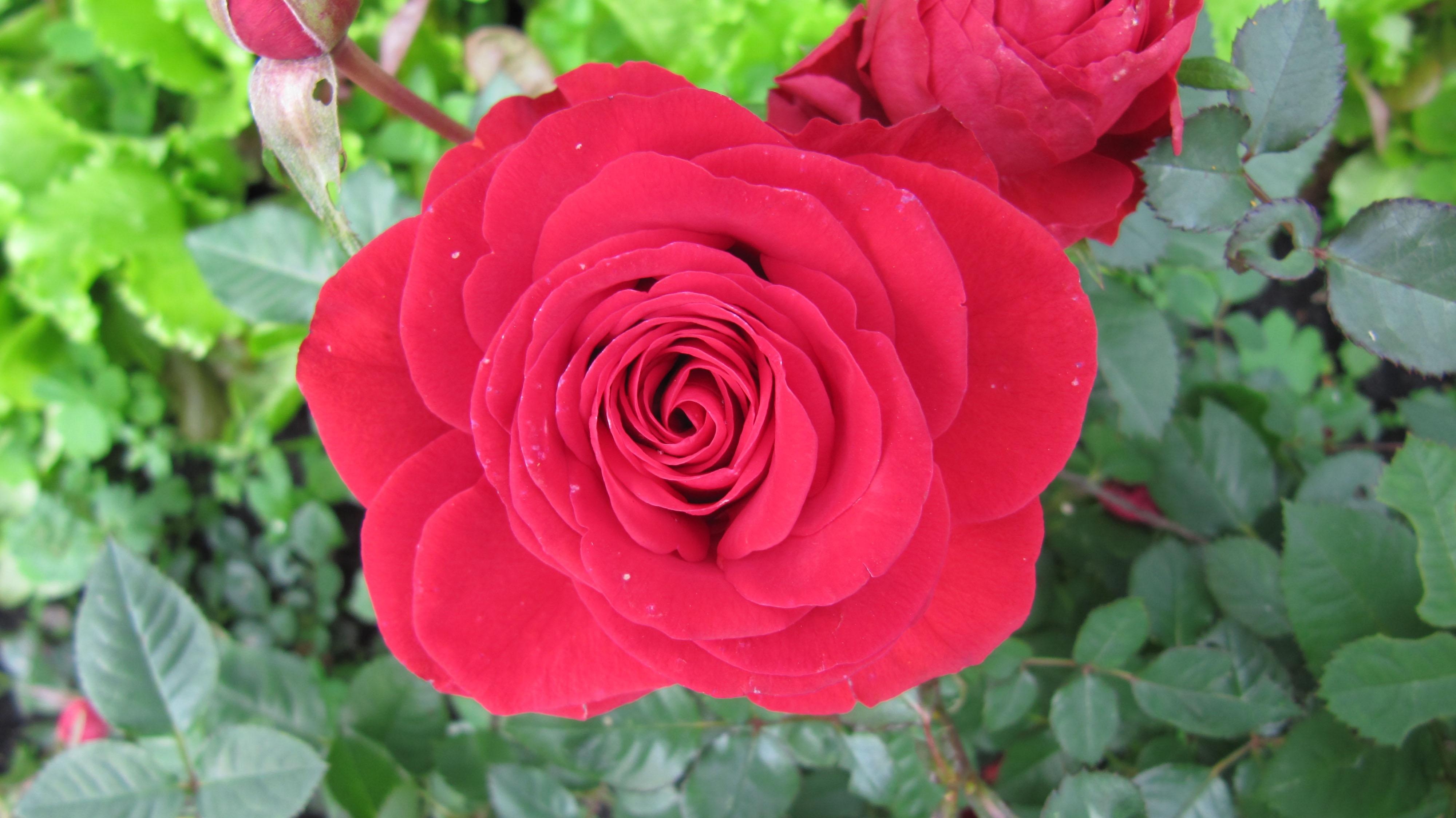 Когда весной открывать розы