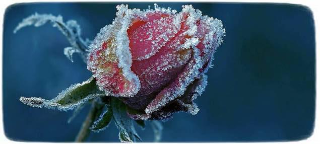 замерзли розы