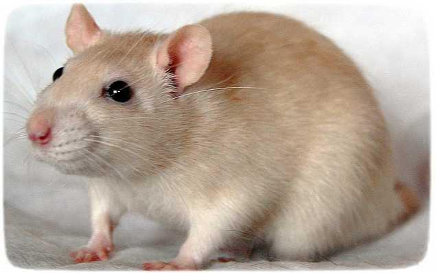 чем кормить крысу декоративную