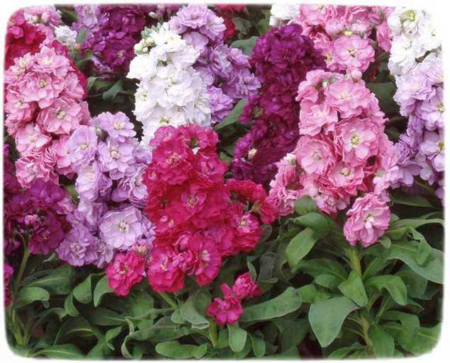 Цветы по которым можно ходить