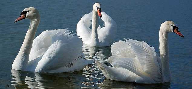 три лебедя