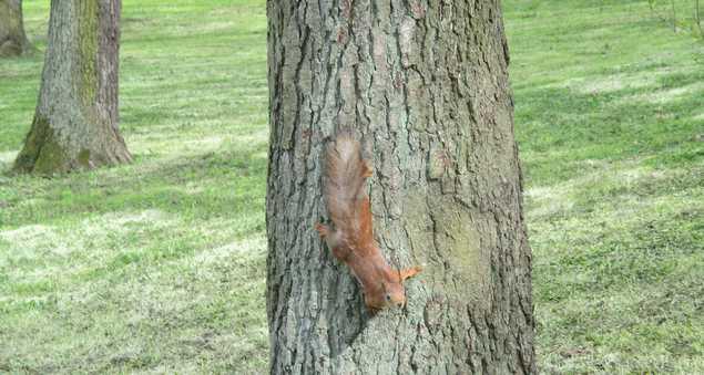 белка на дереве