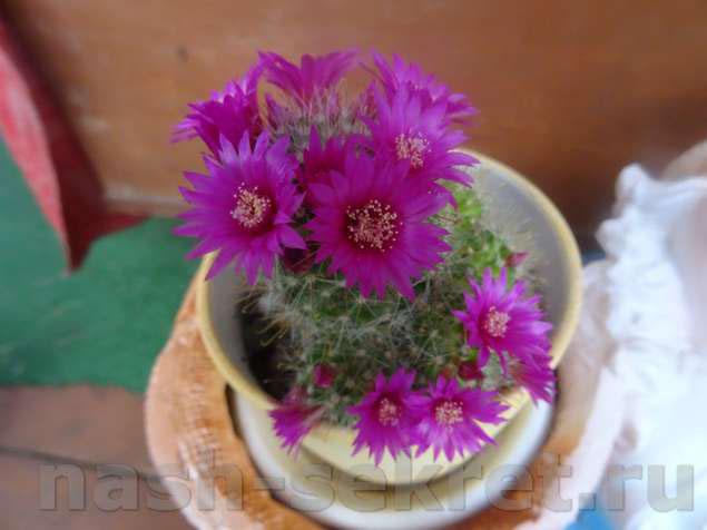 кактус маммилярия уход в домашних условиях