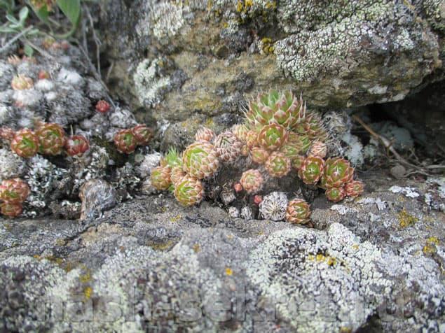 Каменный цветок дружной семейкой
