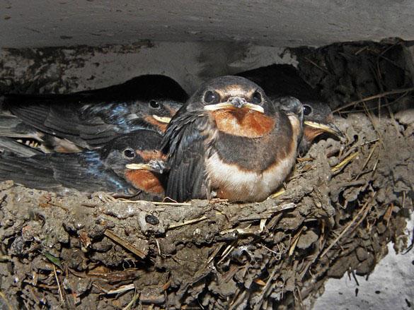 сколько раз ласточки выводят птенцов