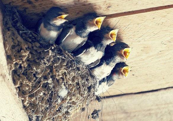 Когда птенцы ласточки начинают летать